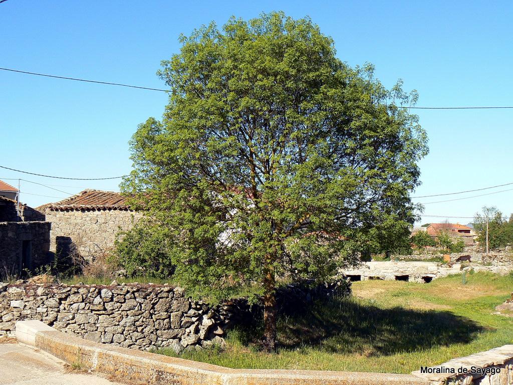 s07.4.fraxinus angustifolia
