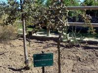 s01.3.quercus rotundifolia