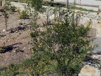 s02.4.jasminum fruticans